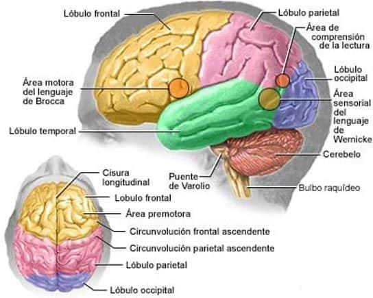 Cerebro cortical