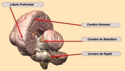 Cerebro límbico o mamífero