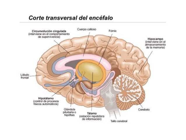 Cerebro límbico