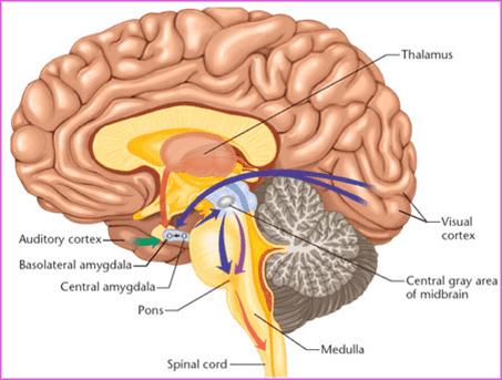 Cerebro y el tálamo