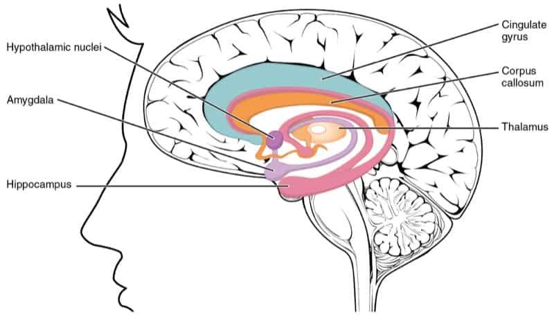 Capas del cerebro humano